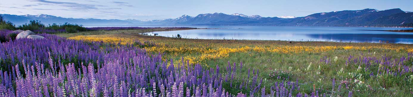Field of flowers with Lake Tahoe in the background