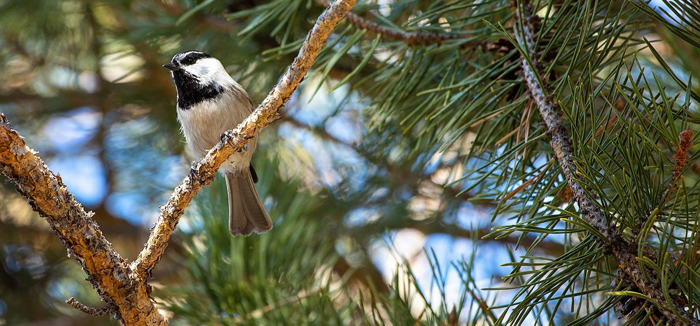 Mountain Chickadee in Lake Tahoe