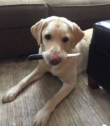 Foster the yellow lab holding a knife in his mouth