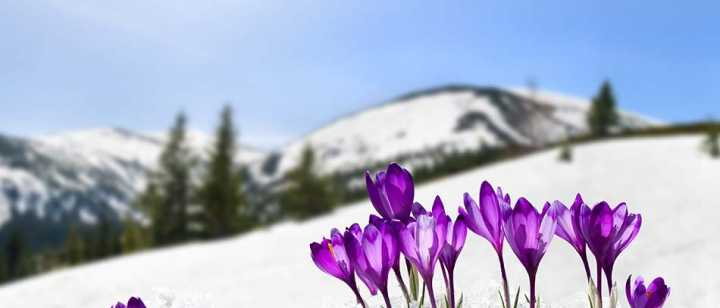 Flowers growing out of the snow in a mountainous area
