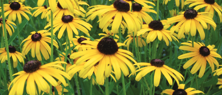 Field of black-eyed Susans