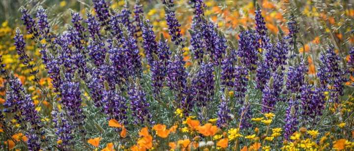 field of California wildflowers, lupine, poppies