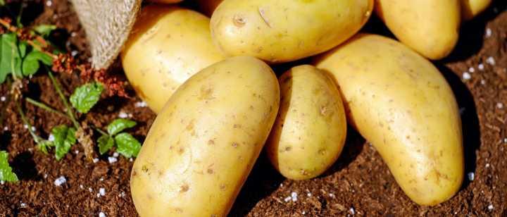 freshly picked yukon potatoes
